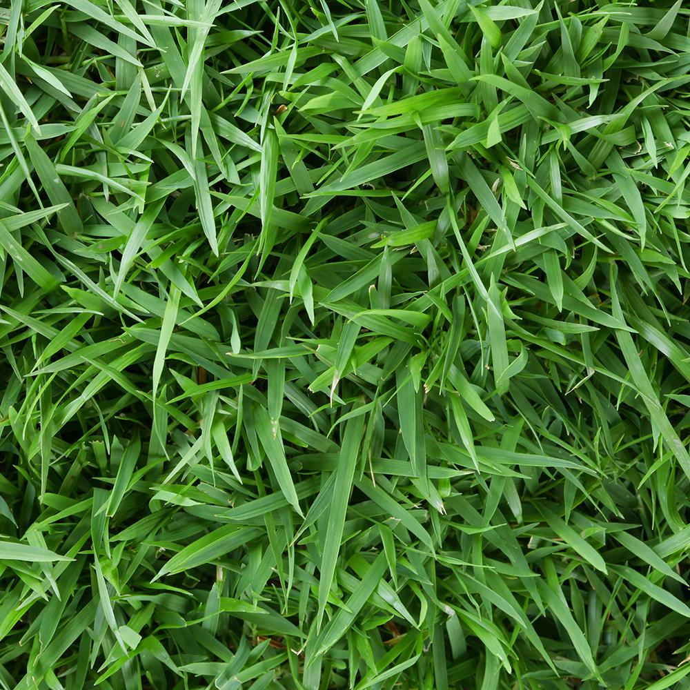 ZOYSIA TURF GRASS- EMPIRE